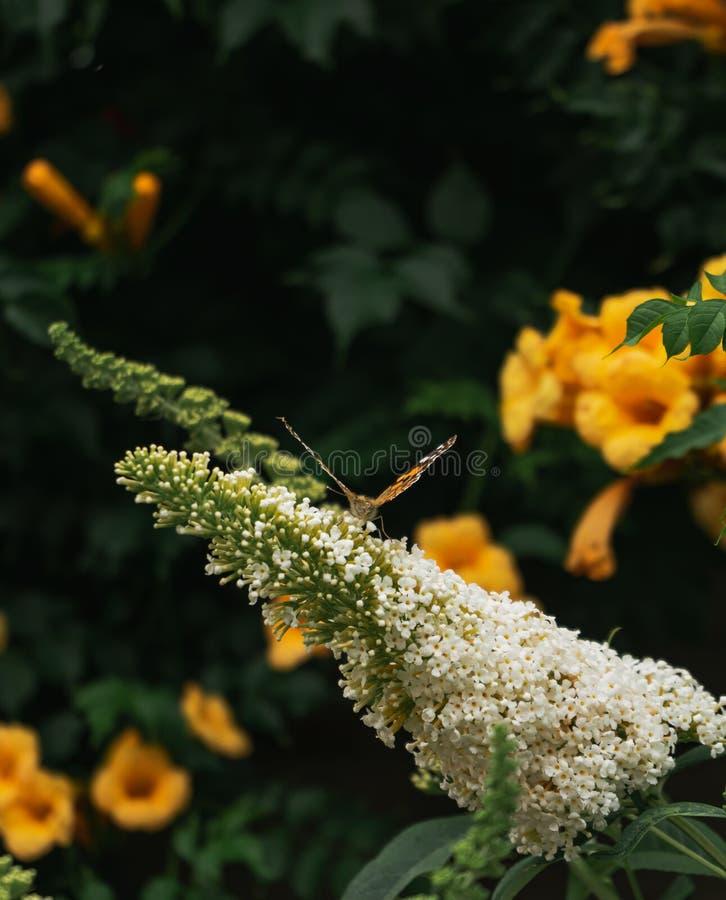 Perfil pintado de la mariposa de la señora en los flores blancos brillantes del buddleja fotos de archivo