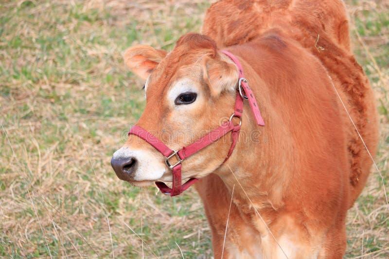 Perfil próximo vaca freada do jérsei foto de stock