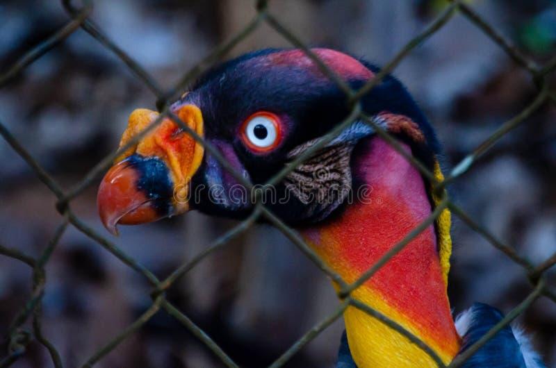 Perfil prendido entre grades, retrato do rei Vulture foto de stock royalty free