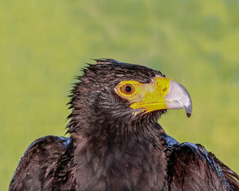 Perfil preto da cabeça da águia imagens de stock