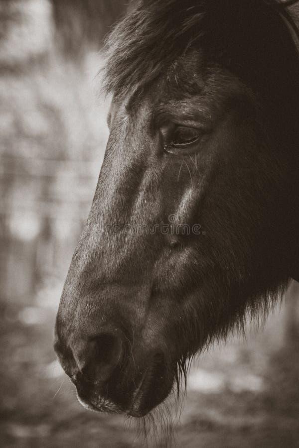 Perfil preto do cavalo imagens de stock royalty free