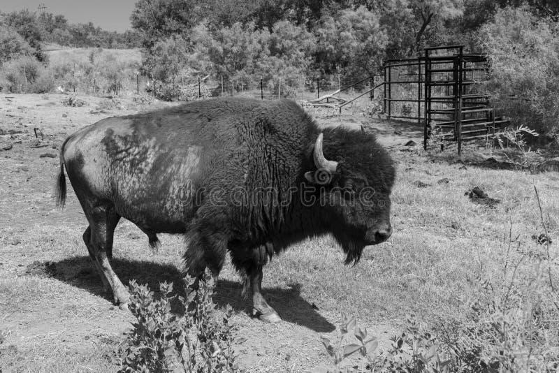 Perfil preto e branco do bisonte americano ou do búfalo fotos de stock