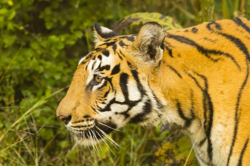 Perfil principal del tigre de Bengala salvaje foto de archivo libre de regalías