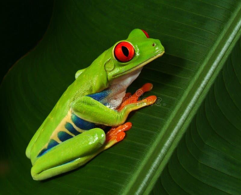 Perfil rojo de la rana de árbol del ojo fotos de archivo