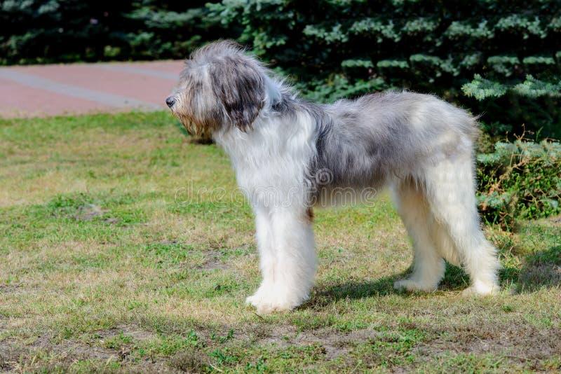 Perfil romeno do cão-pastor fotografia de stock