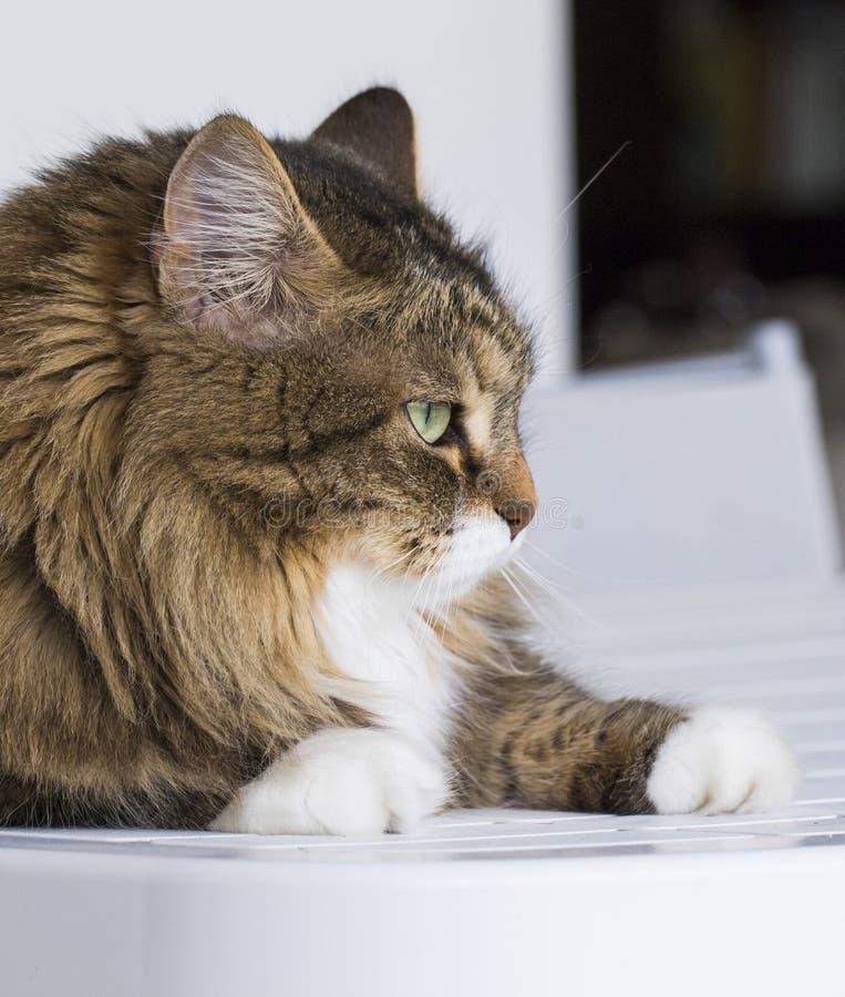 Perfile el gato en la casa que mira hacia fuera, gato de gato atigrado marrón foto de archivo libre de regalías