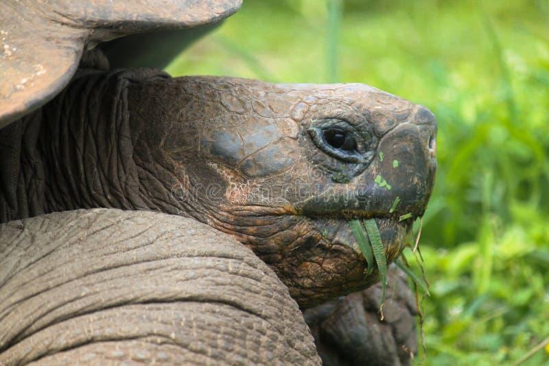 Perfile el retrato de la tortuga de las Islas Galápagos, nigra de Chelonoidis, comiendo la hierba imagen de archivo libre de regalías