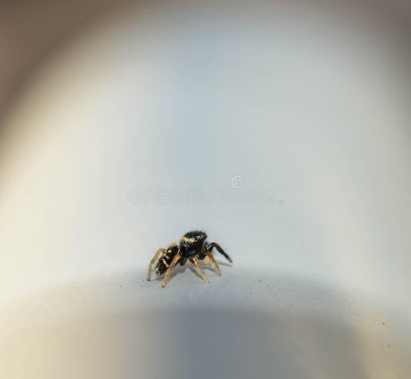 Perfile la opinión una araña de salto del bebé negro minúsculo foto de archivo