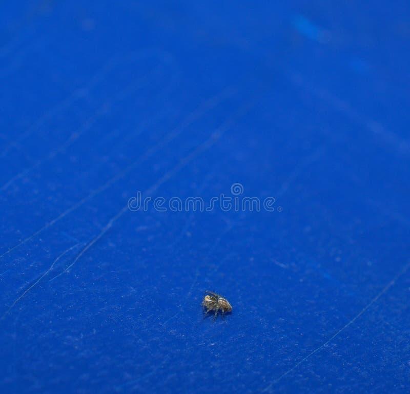 Perfile la opinión una araña minúscula de la hierba del bebé en fondo azul imágenes de archivo libres de regalías