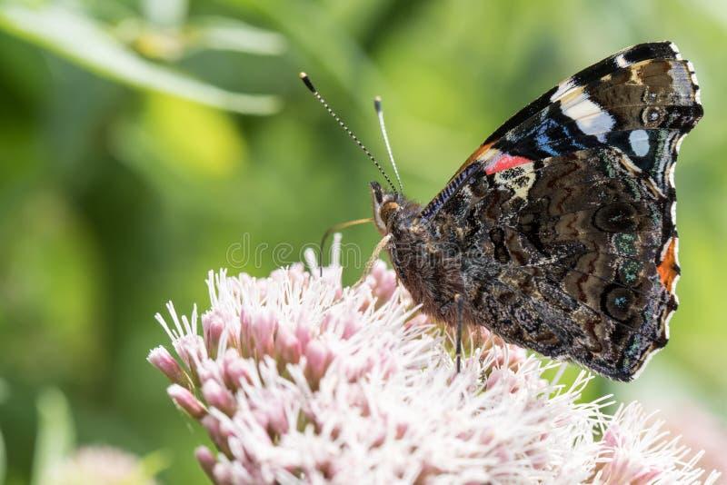 Perfile la opinión una mariposa en una flor fotografía de archivo libre de regalías