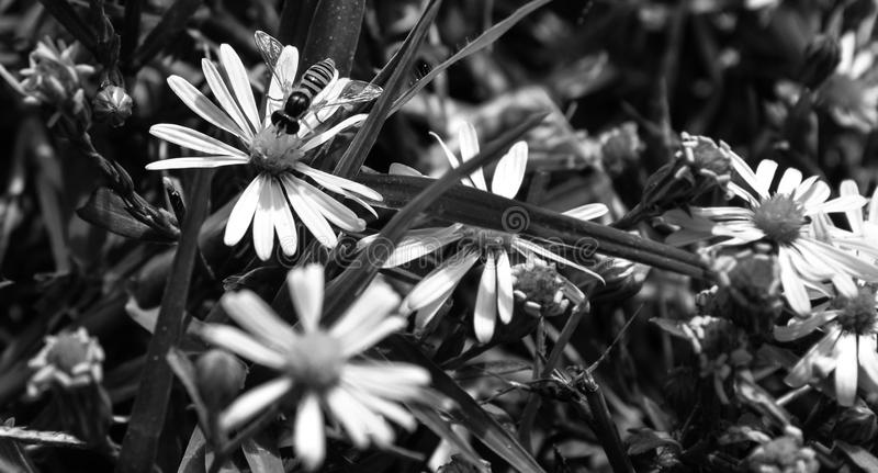 Perfile la visión, foto macra de una mosca de la flor que esté chupando el néctar de un pequeño wildflower fotografía de archivo libre de regalías
