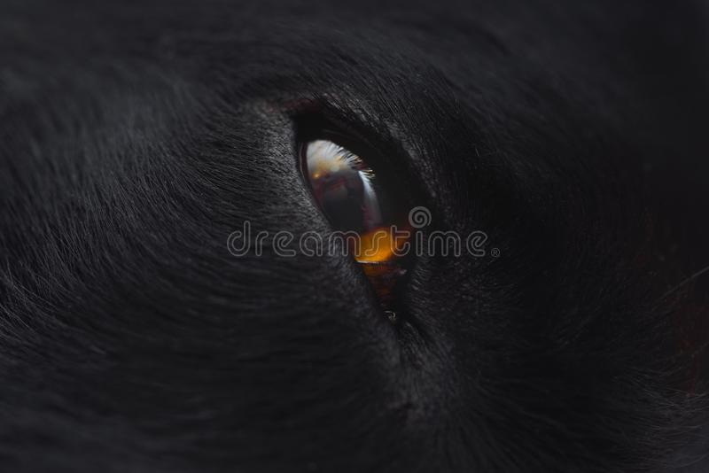 Perfile o fim do extremo da cara e do olho do cão preto acima foto de stock royalty free