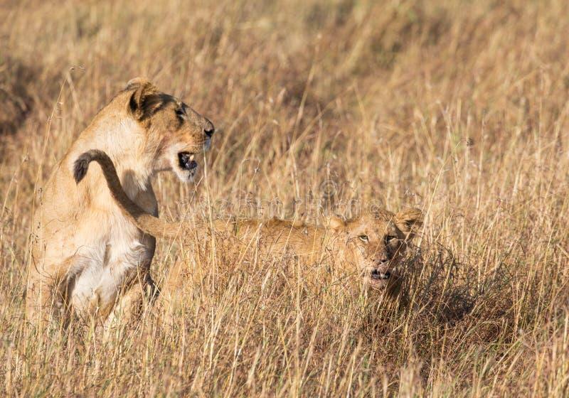 Perfile o retrato do leão fêmea, panthera de leo, com seu filhote na paisagem alta da grama em África imagens de stock