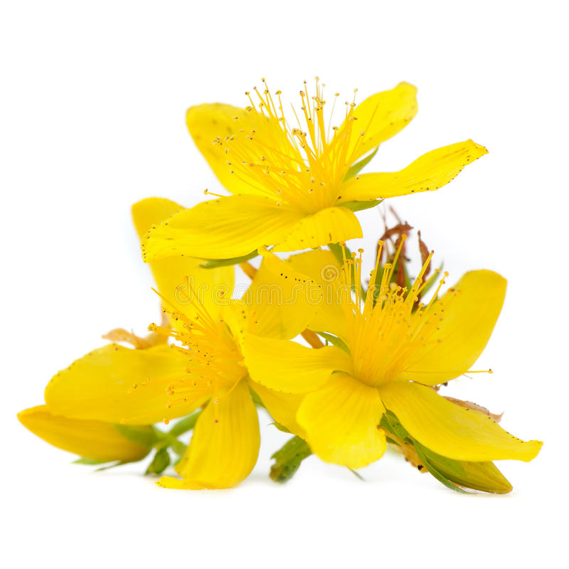 Perforate St Johns-Wort Flowers Isolated on White Background. Bright yellow perforate St Johns-Wort (Hypericum perforatum) flowers isolated on a white background royalty free stock images