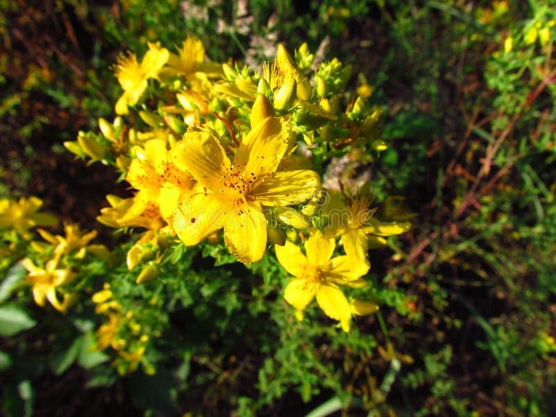 Perforatum de Hypericum, détail de la fleur jaune de la plante médicinale utilisée comme antidépresseur photo stock