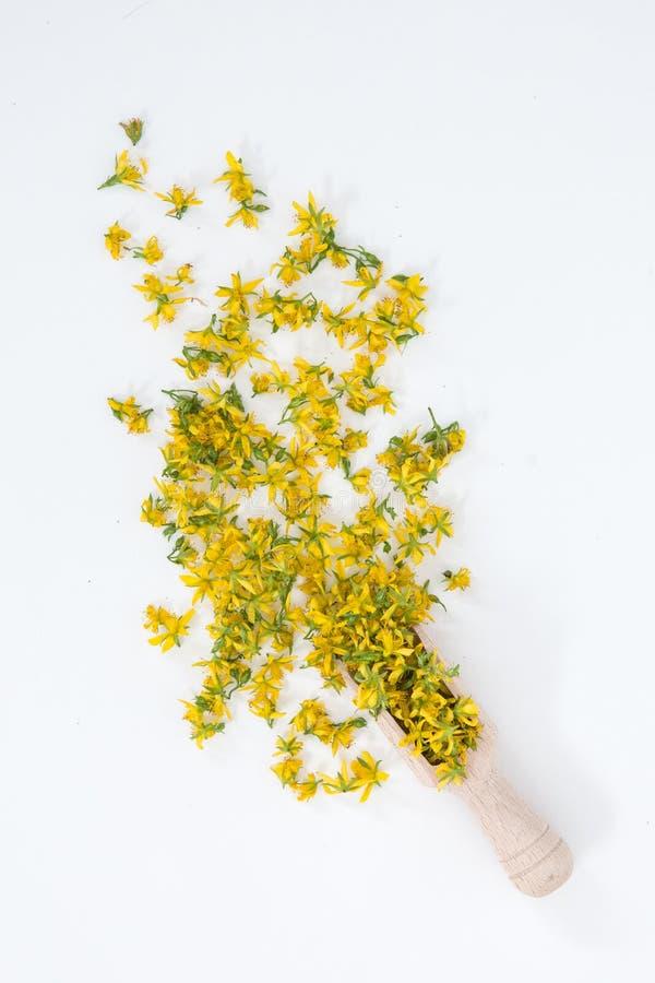 Perfore la hierba de San Juan es planta muy rara y sana imágenes de archivo libres de regalías
