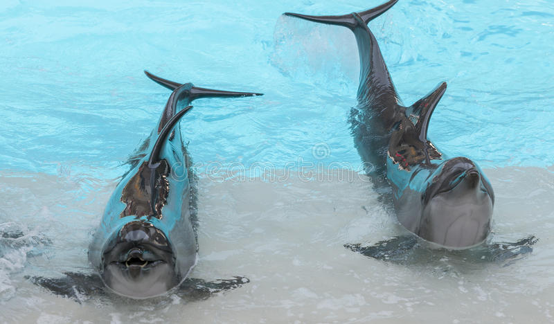 Performing bottle nose dolphins stock photos