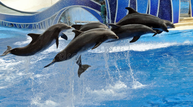Performing Dolphins. A group of performing bottlenose dolphins jump in tandem at Sea World in Orlando, Florida