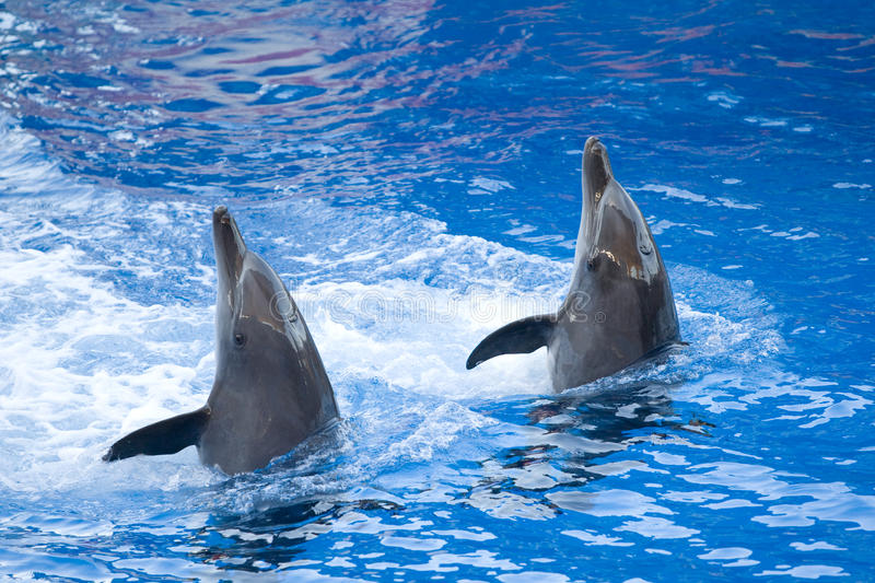 Performing dolphins royalty free stock images