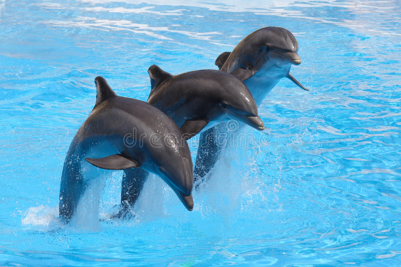 Performing Dolphins. Three Bottlenose Dolphins leaping in formation against a blue water background
