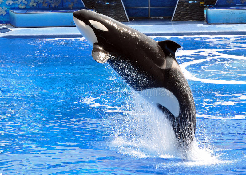 Performing Killer Whale (Orca) stock images
