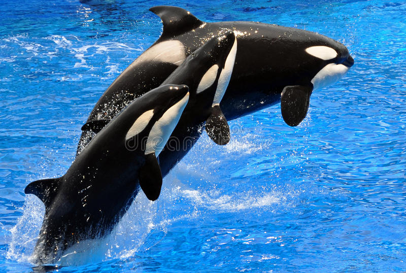 Performing Killer Whales (Orca) royalty free stock photography