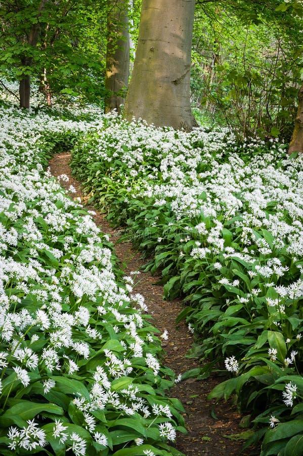 Perfumowa ścieżka Allium Ursinum akademie królewskie - las ścieżka - Dziki czosnek - obrazy stock