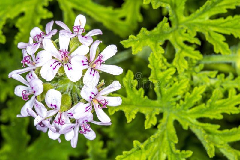 Perfumowy Liściasty Pelargonium fotografia stock