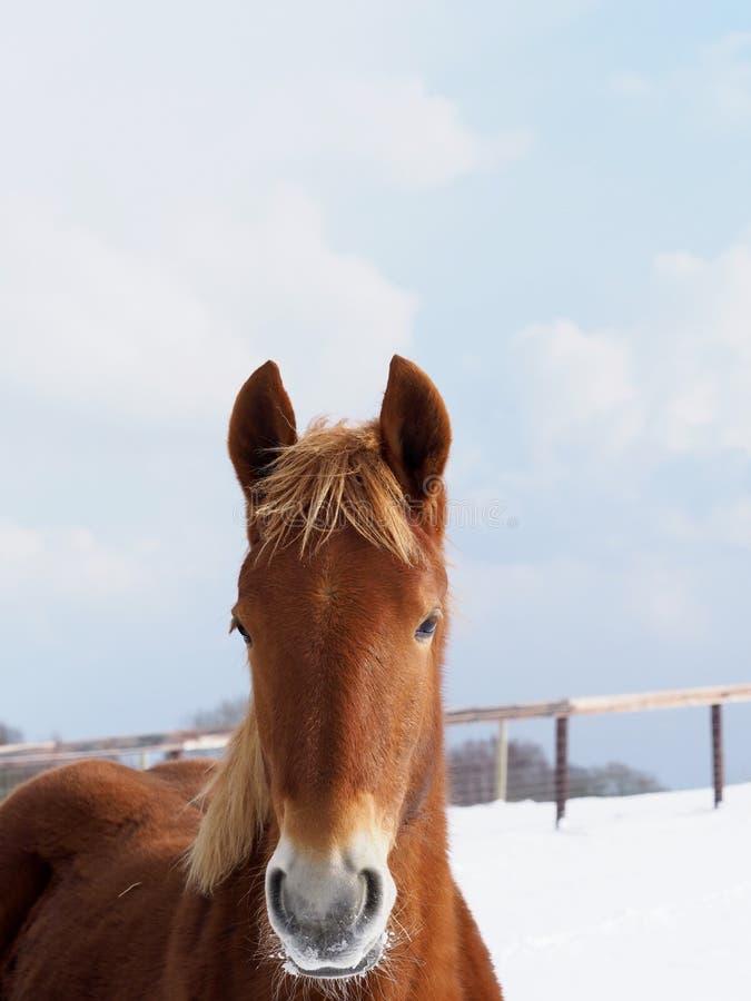 Perfurador do Suffolk no inverno foto de stock royalty free
