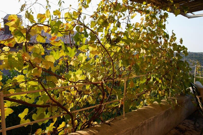 pergola couverte en accrochant des raisins de vignes photo stock image 63662890. Black Bedroom Furniture Sets. Home Design Ideas