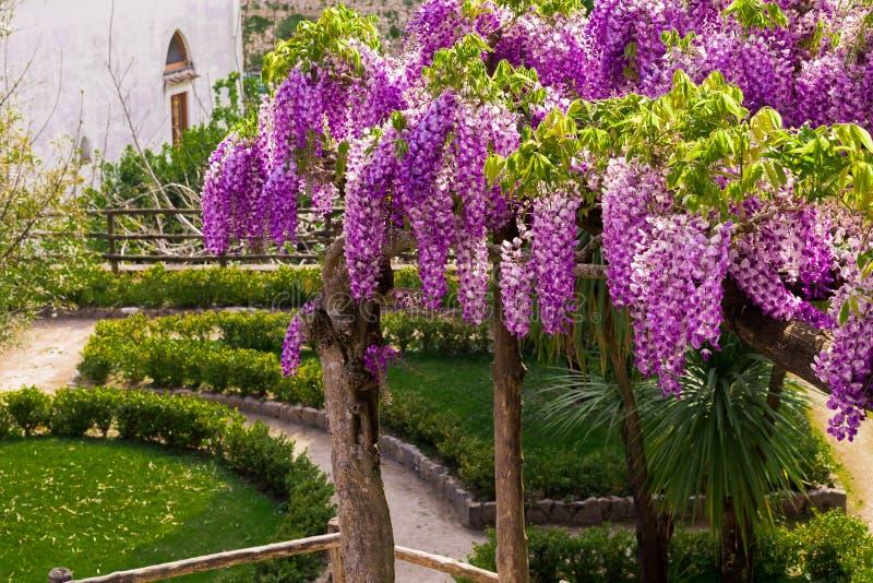Pergola glänzte mit blühender Glyzinie im Landhaus Rufolo-` s Garten in Ravello, Amalfi-Küste, Sorrent, Italien lizenzfreies stockfoto