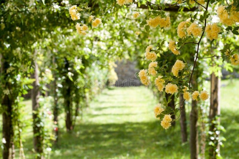Pergola van gele banksiae die rozen, selectieve nadruk beklimmen stock foto's