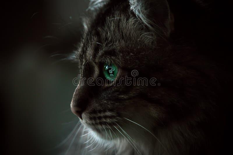 A pergunta Cat Isolated da dúvida no fundo escuro fotos de stock royalty free