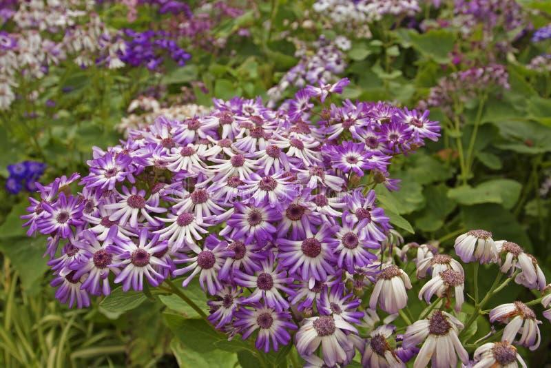 Pericallis púrpura de la flor en el macizo de flores Isla Madiera foto de archivo libre de regalías