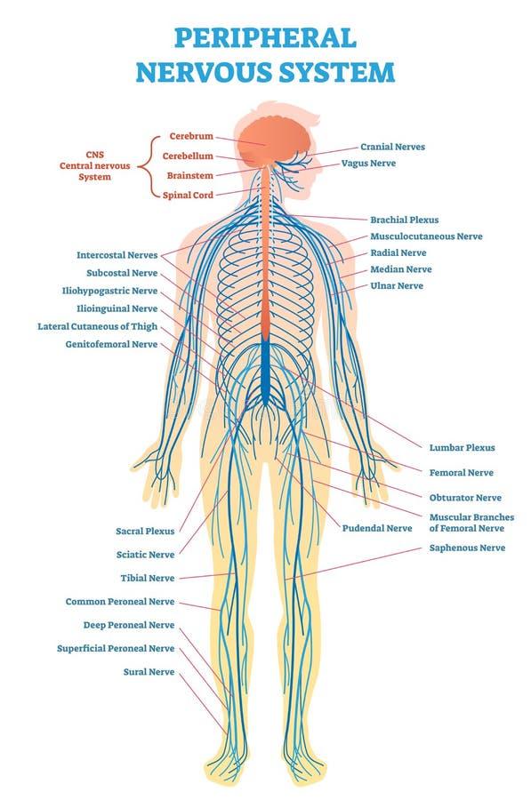 Perifeer zenuwstelsel, medisch vectorillustratiediagram met de volledige regeling van de lichaamszenuw stock illustratie