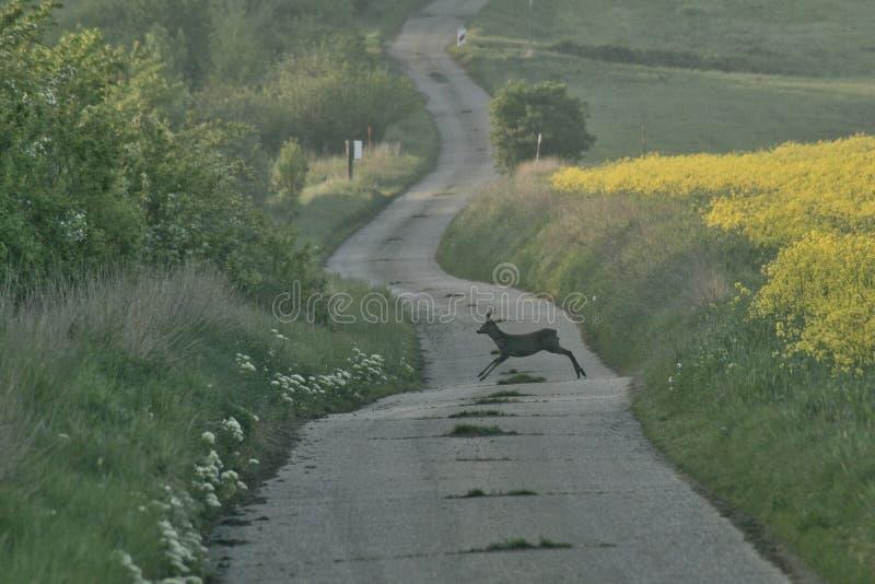 Perigo, cervo na estrada foto de stock
