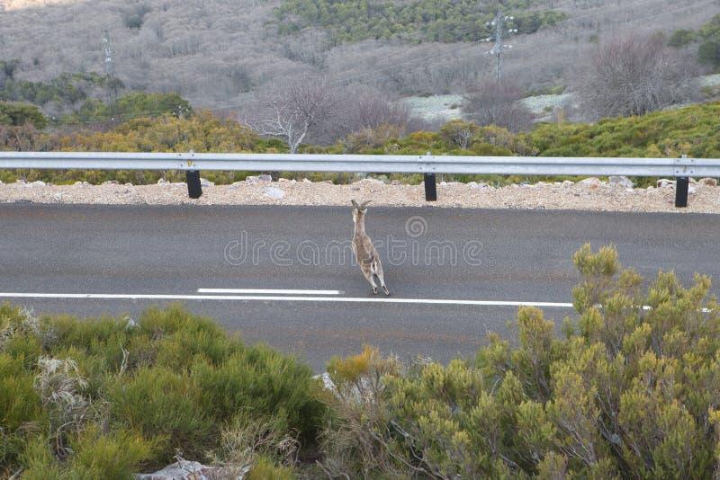 Perigo na estrada Cruzamento animal selvagem a estrada imagens de stock royalty free