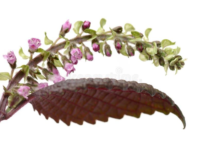 Perillaörten kärnar ur använt i traditionell kinesisk växt- medicin royaltyfri fotografi