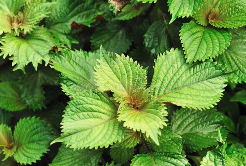 Perillaväxter fotografering för bildbyråer