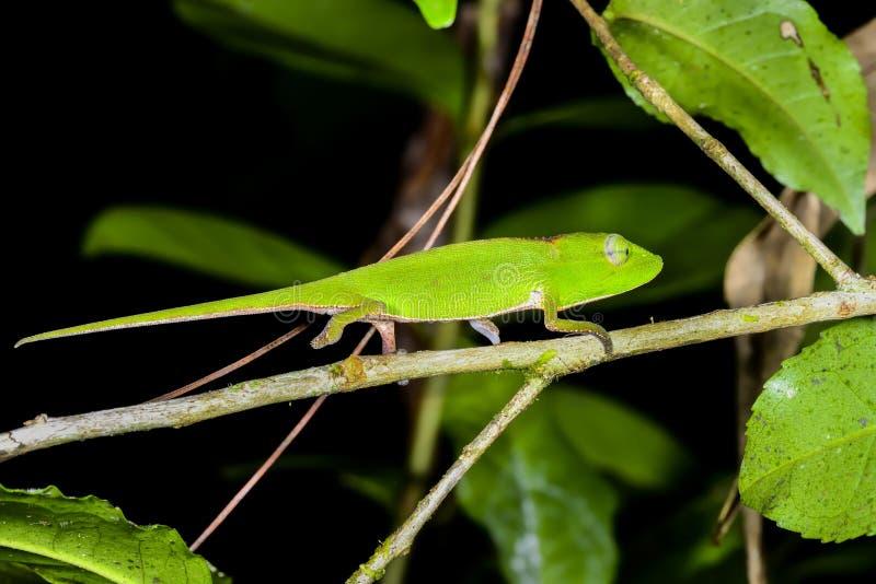 Download Perinet Chameleon, Andasibe Stock Photo - Image: 26867242