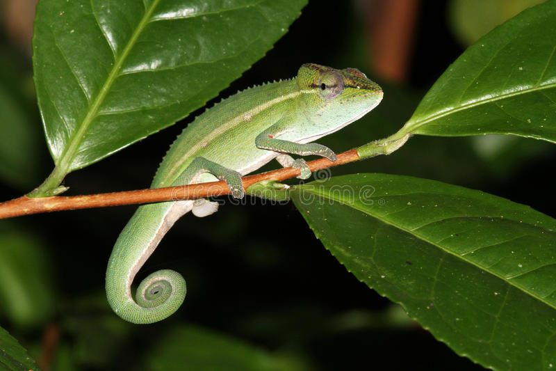 Perinet Chameleon (Calumma gastrotaenia) royalty free stock photography
