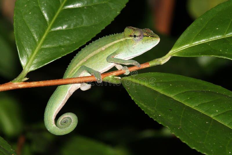 Perinetkameleon (Calumma-gastrotaenia) royalty-vrije stock fotografie