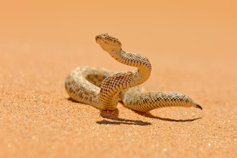 Peringueyi Bitis, сумматор Péringuey, змейка отравы от пустыни песка Намибии Небольшая гадюка в среду обитания природы, равенств стоковая фотография