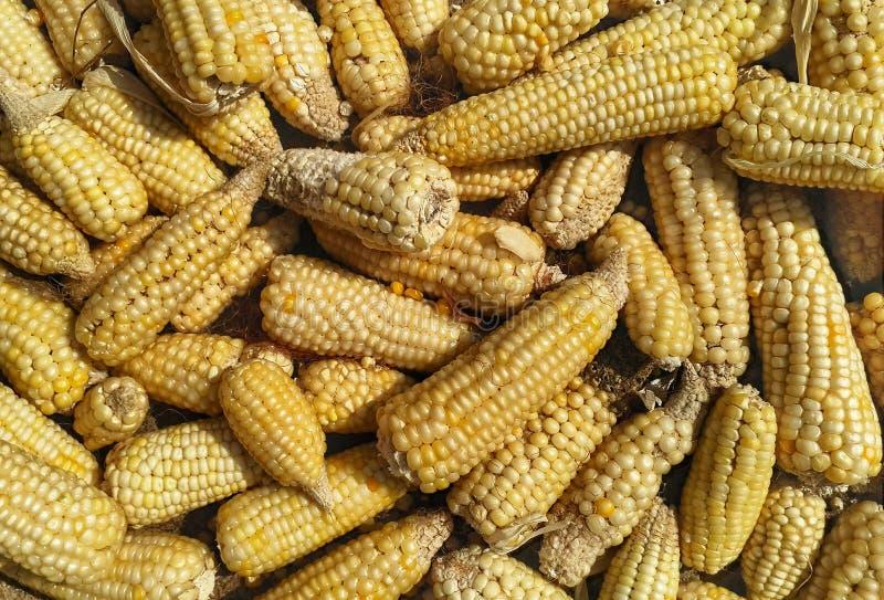 Perinnel玉米在烘干的阳光安置了 从上面射击 免版税库存照片