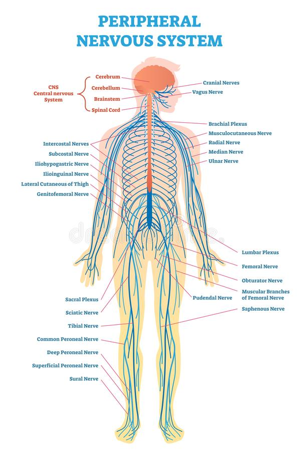 Free Peripheral Nervous System, Medical Vector Illustration Diagram With Full Body Nerve Scheme. Stock Photography - 111705532