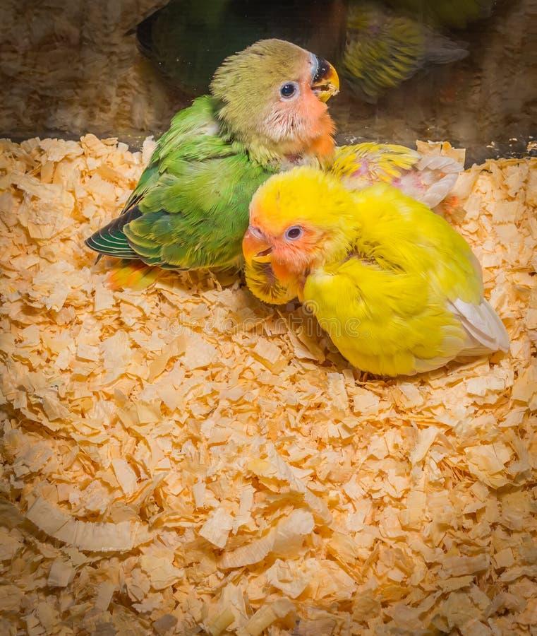 Periquito amarelo do bebê fotos de stock