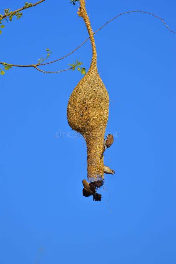 periquito Ameixa-dirigido, ramo do cyanocephalaon do Psittacula de uma árvore no santuário de animais selvagens de Sagareshwar, S fotos de stock royalty free