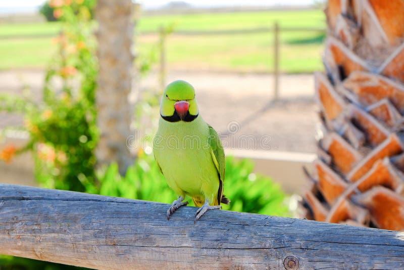 periquito Anel-necked em Fuerteventura, Espanha fotografia de stock