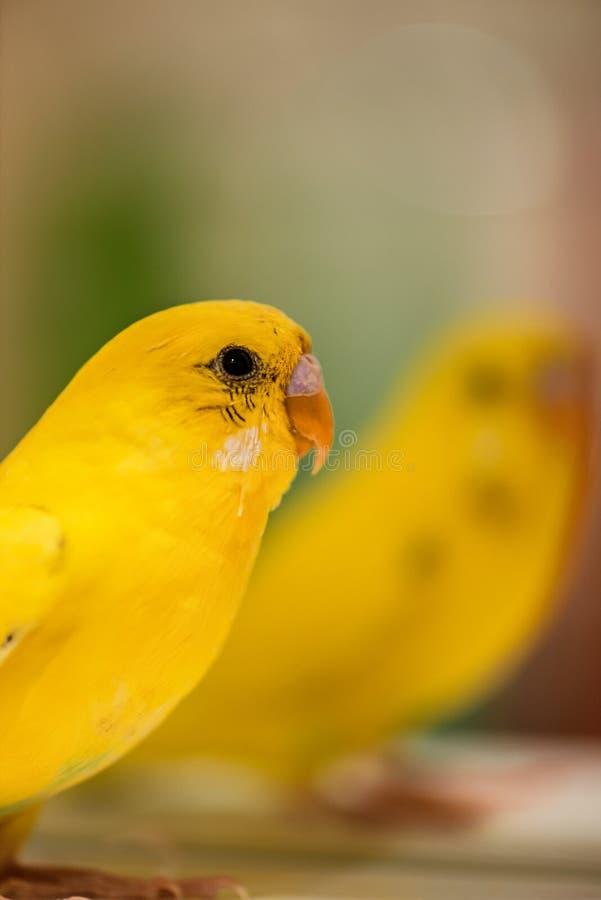 Periquito australiano amarelo fotos de stock
