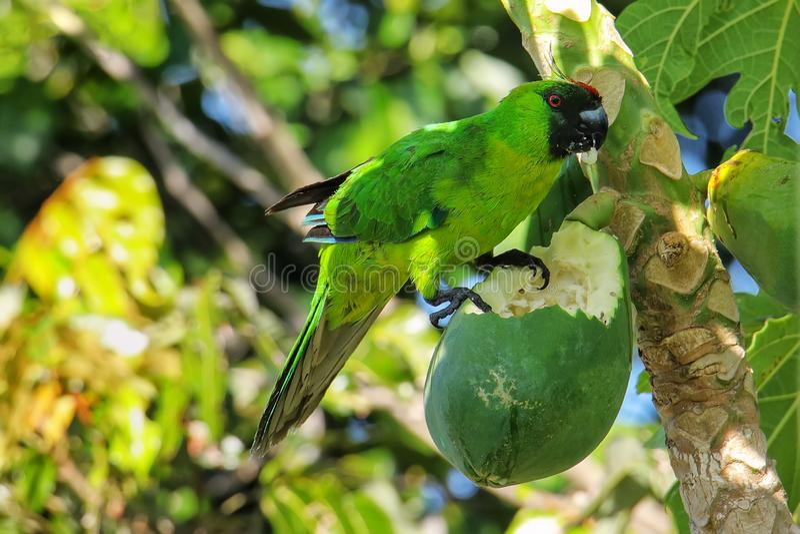 Periquito de Ouvea que come a papaia na ilha de Ouvea, ilhas de lealdade, Nova Caled?nia imagens de stock royalty free